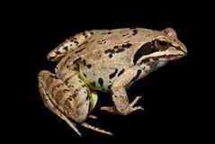 черная изолированная лягушка Стоковые Фотографии RF