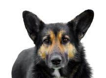 черная изолированная собака Стоковые Фото