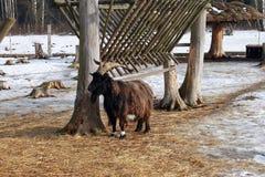 Черная длинная коза волос Стоковые Фотографии RF
