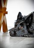 Черная длинная с волосами немецкая овчарка Стоковое фото RF