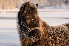 Черная исландская лошадь в замерзая зимнем времени Стоковое Фото