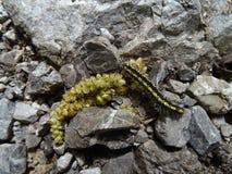Черная и желтая гусеница ест на серых камнях иллюстрация вектора