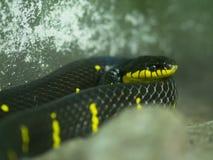 Черная и желтая змейка стоковые фото