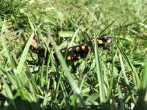 Черная и желтая ящерица стоковые изображения rf