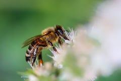Черная и желтая пчела работника Стоковое Изображение RF