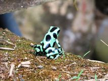 Черная и зеленая лягушка дротика Стоковая Фотография