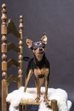 Черная и коричневая собака меха стоя величественно над стулом стоковая фотография rf