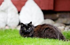 Черная и красивая норвежская женщина кота леса в саде Стоковое фото RF