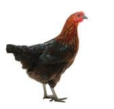 Черная и красная курица стоковые изображения rf