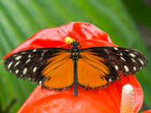 Черная и оранжевая бабочка на красной орхидее Стоковые Фото