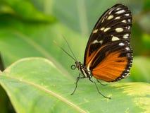 Черная и оранжевая бабочка стоя на лист Стоковая Фотография