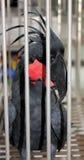черная клетка его смотря macaw стоковая фотография rf