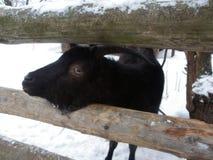 Черная коза в зиме Стоковые Фотографии RF