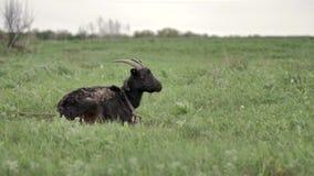 Черная коза лежит на зеленой лужайке и взглядах вокруг и в камеры сток-видео