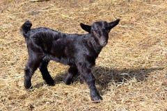 Черная коза ребенк Стоковые Изображения RF