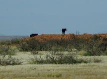 Черная корова на холме Стоковое фото RF