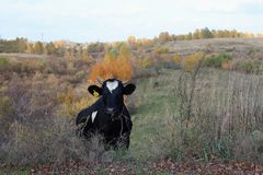 Черная корова пася на траве в холмах в осени стоковые изображения rf