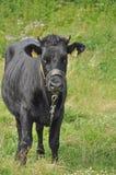 черная корова Стоковые Фотографии RF