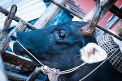 черная корова стоковое фото