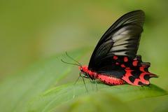 Черная красной бабочки красивая и красная бабочка отравы, semperi Antrophaneura, в среду обитания леса зеленого цвета природы, Ма стоковые фото