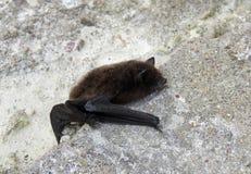 Черная летучая мышь Стоковое Фото