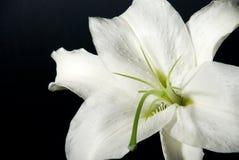 черная лилия Стоковая Фотография RF