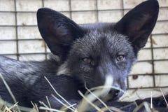Черная лисица младенца Стоковое фото RF