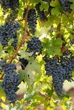 черная лоза виноградины Стоковое Фото