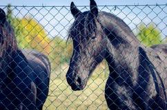 Черная лошадь в луге стоковые фото