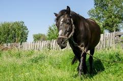 Черная лошадь в проводке пасет на зеленом луге на фоне деревянной загородки стоковые фото