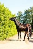 Черная лошадь есть дерево выходит близко к equestrian молодой дамы Стоковая Фотография RF
