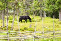 Черная лошадь пася outdoors стоковая фотография