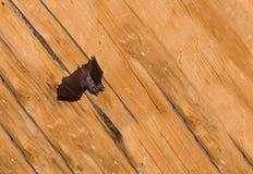 Черная малая летучая мышь с выправленными кожаными крылами на фоне Стоковые Фотографии RF