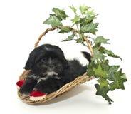 черная милая белизна щенка Стоковое Фото