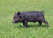 Черная мини свинья на луге Стоковые Фото