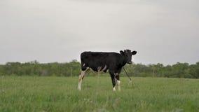 Черная молодая икра связанная к цепи пасет на зеленых взглядах лужайки вокруг и в камеры сток-видео