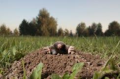 черная моль Стоковая Фотография
