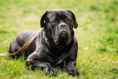 Черная молодая собака Corso тросточки сидит на зеленой траве Outdoors большая собака Стоковые Фотографии RF