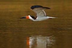 Черная муха шумовки, в реке, негр Рио, Pantanal, Бразилия Питьевая вода шумовки с открытыми крылами Сцена живой природы от одичал Стоковые Изображения