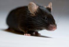 черная мышь Стоковые Фотографии RF