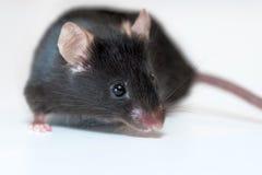 Черная мышь Стоковое Изображение