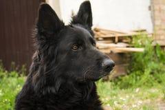 Черная немецкая овчарка красоты Лучший друг человека от среди Стоковые Фотографии RF