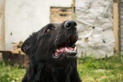 Черная немецкая овчарка красоты Лучший друг человека от среди Стоковое Изображение