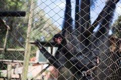 Черная обезьяна в клетке стоковое фото