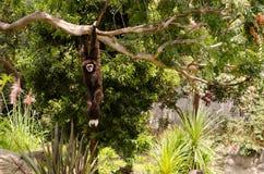Черная обезьяна на зоопарке стоковое изображение rf