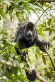 черная обезьяна ревуна стоковое фото rf