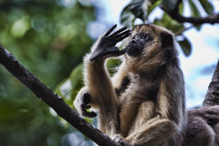 черная обезьяна ревуна Стоковое Фото