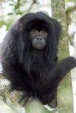 черная обезьяна ревуна Стоковое Изображение