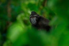 Черная обезьяна спрятанная в зеленой вегетации, сидя в среду обитания природы, темный тропический лес Celebes crested макака, Mac стоковое изображение rf