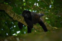 Черная обезьяна Mantled palliata Alouatta обезьяны ревуна в среду обитания природы Черная обезьяна в обезьяне черноты леса в дере Стоковая Фотография RF